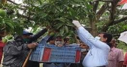 নাটোরে চলতি বছরের আম আহরণের শুভ উদ্বোধন