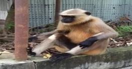 বাগাতিপাড়ায় দলছুট হুনুমানের জীবনহানির আশঙ্কা