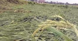 নলডাঙ্গায় ঝড় ও শিলাবৃষ্টিতে লুটিয়ে পড়েছে বোরো ধান