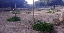 বাগাতিপাড়ায় রাতের আধারে অর্ধশত আম গাছ কাটলো দুর্বৃত্তরা