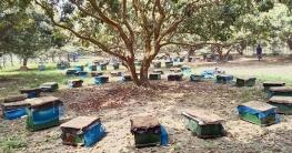 গুরুদাসপুরে লিচুর বাগানে মৌমাছি চাষে লাভবান খামারি ও চাষিরা