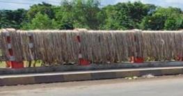 নাটোরে রবি-১ জাতের পাট চাষে অধিক ফলনের সম্ভাবনা
