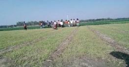 নলডাঙ্গায় কীটনাশকের কারণে ক্ষতিগ্রস্ত কৃষক