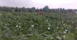 বাগাতিপাড়ায় শত্রুতা মূলক পটলগাছ কাটায় ক্ষতি দেড়লাখ টাকা