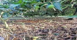 নলডাঙ্গায় আম্পানে সাড়ে ৩ কোটি টাকার আম, লিচু ও পেঁপের ক্ষতি
