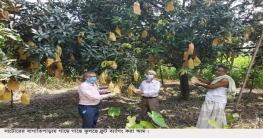 বাগাতিপাড়ায় গাছে গাছে ঝুলছে ফ্রুট ব্যাগিং আম
